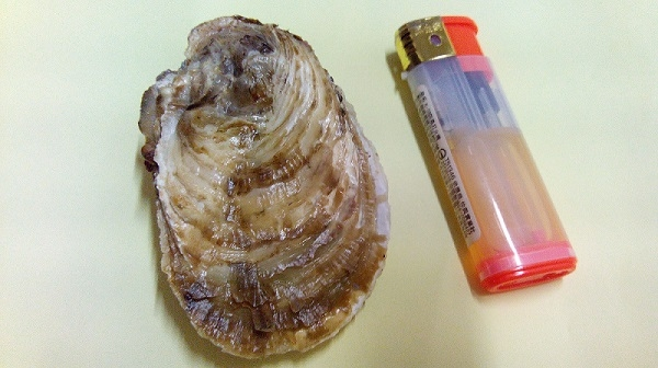 新鮮帶殼牡蠣/生蠔(一般)