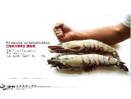 【水汕海物】少量到貨 巨獸海熊蝦王 草蝦迴避 長35cm ,重360g。