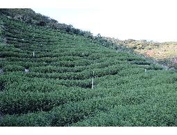 茶葉,梨山茶30斤(一顆)