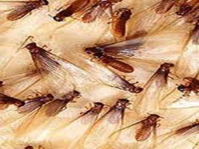 大水蟻(婚飛繁殖蟻)