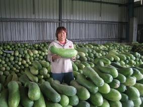 文成農產行 產地冬瓜批發、大條熟成冬瓜